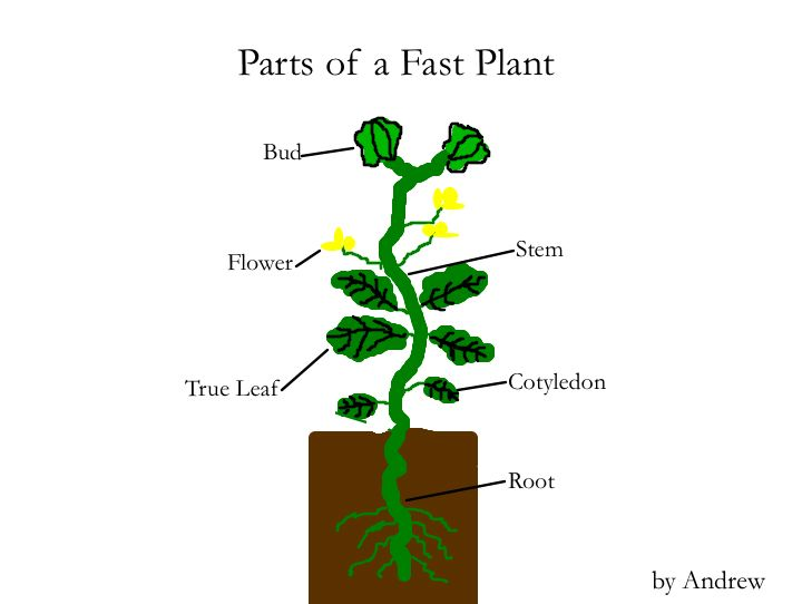 Parts of a fast plant